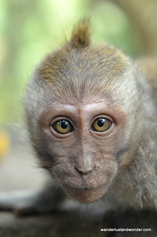 The Monkeys of Ubud