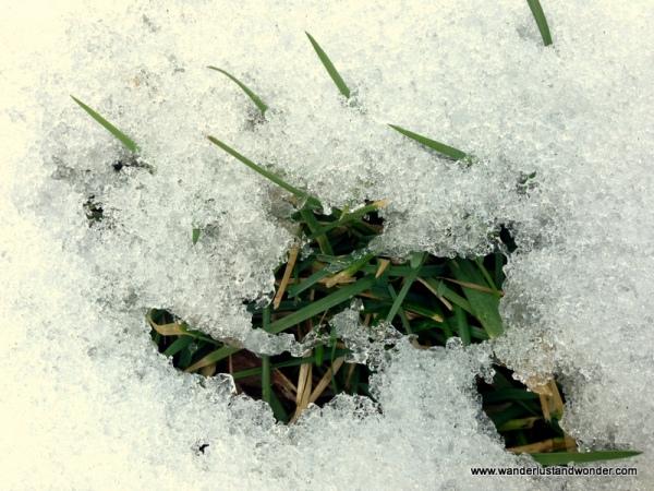 Grass peeking through snow