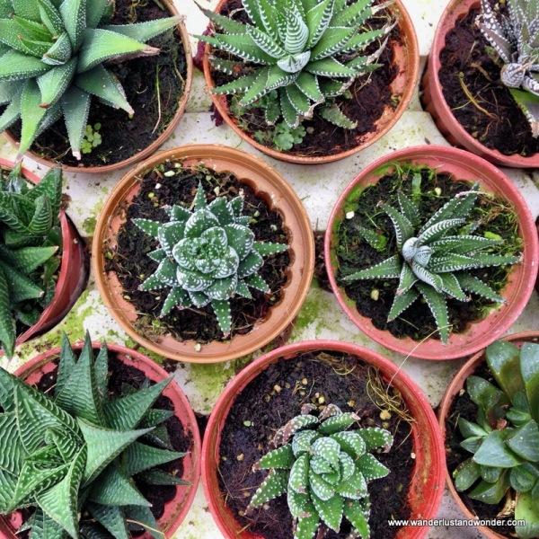 Succulent succulents : )