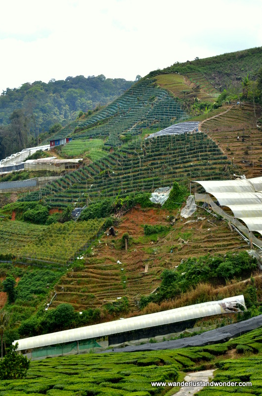 Cameron Highlands, 2013 231