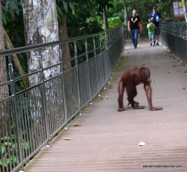 Orangutan in action