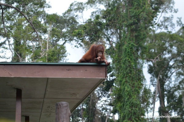 Orangutans roam freely around this center.