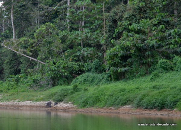 wild boars in borneo