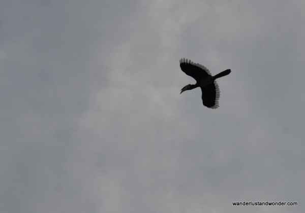hornbill in flight