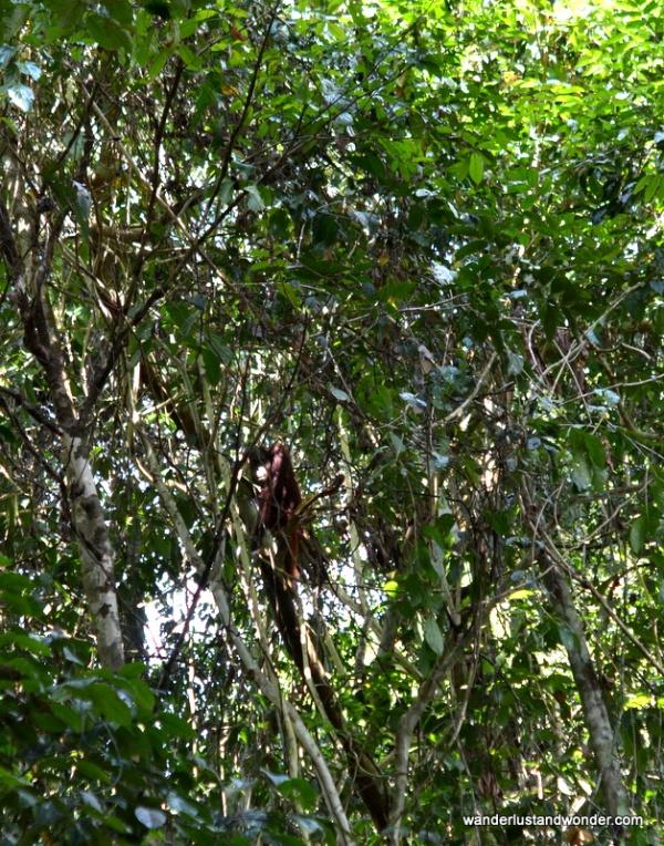 Wild orangutan at Danau Girang