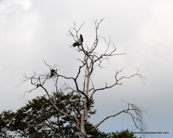 Sea eagles in the treetops.