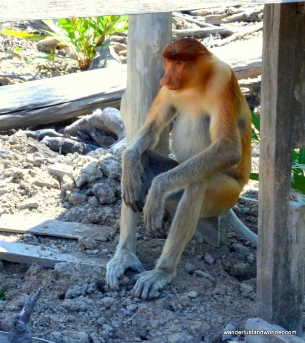 proboscis monkey sandakan