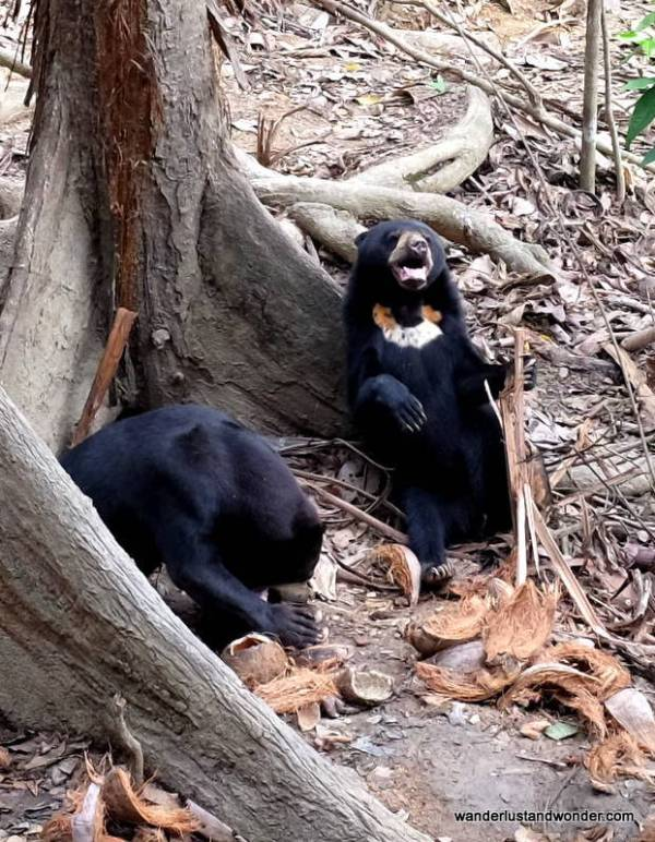 Sun Bears at the Bornean Sun Bear Conservation Centre